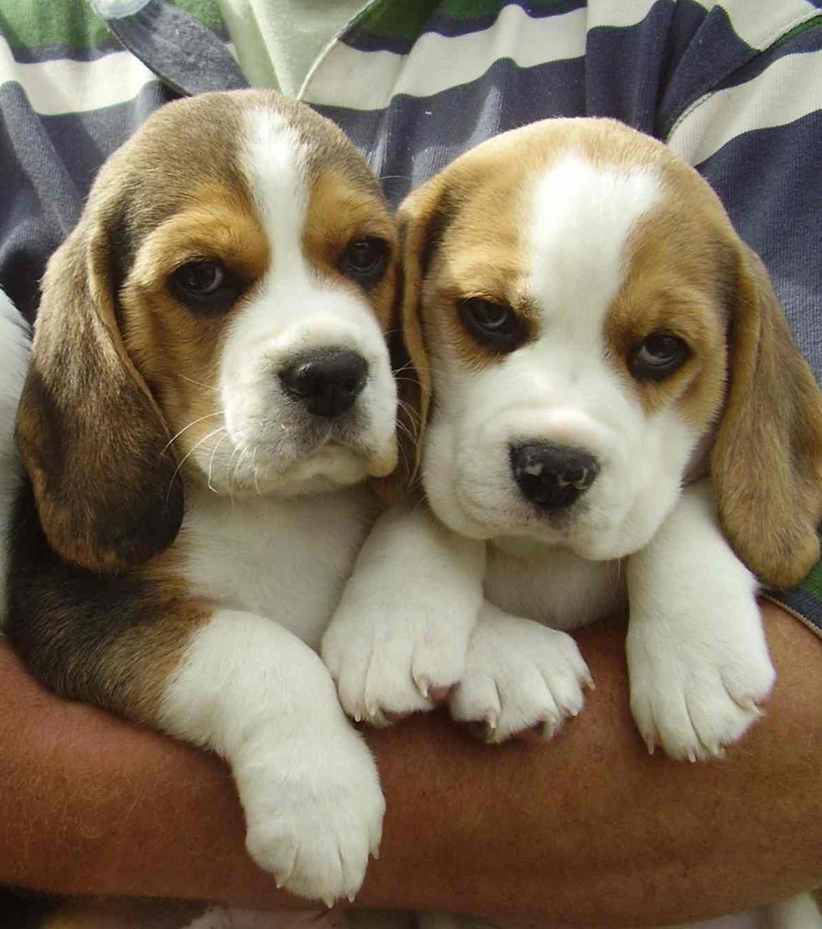 Beagle de quoi découvrir cette race et bien d'autres